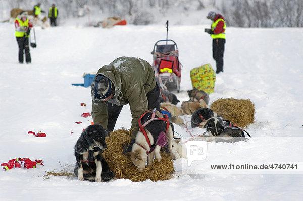 Musher versorgt seine Hunde beim Finnmarksl¯pet  nördlichstes Schlittenhunderennen der Welt  Finnmark  Lappland  Norwegen  Europa