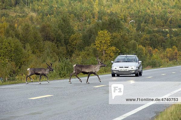 Reindeer (Rangifer tarandus) on a country road  Finnmark  Norway  Europe
