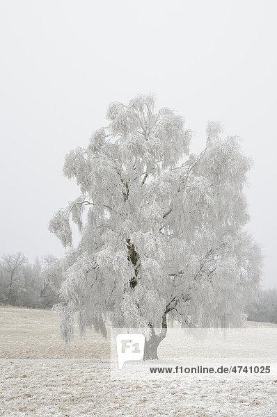Baum mit Raureif im Winter  Harz  Sachsen-Anhalt  Deutschland  Europa Baum mit Raureif im Winter, Harz, Sachsen-Anhalt, Deutschland, Europa