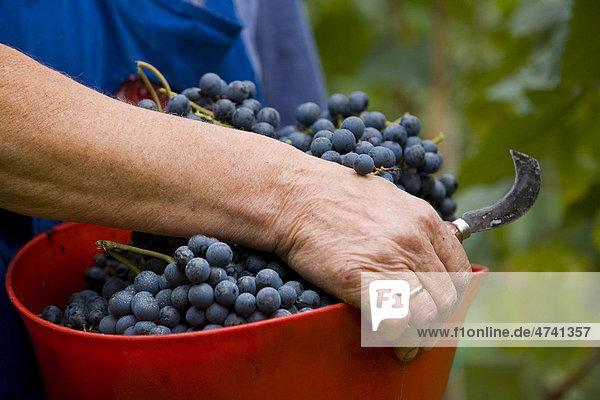 Grape harvest  province of Bolzano-Bozen  Italy  Europe Grape harvest, province of Bolzano-Bozen, Italy, Europe