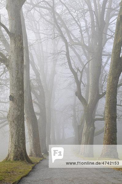 Platanenallee (Platanus) im Nebel auf der Insel Mainau  Landkreis Konstanz  Baden-Württemberg  Deutschland  Europa Platanenallee (Platanus) im Nebel auf der Insel Mainau, Landkreis Konstanz, Baden-Württemberg, Deutschland, Europa