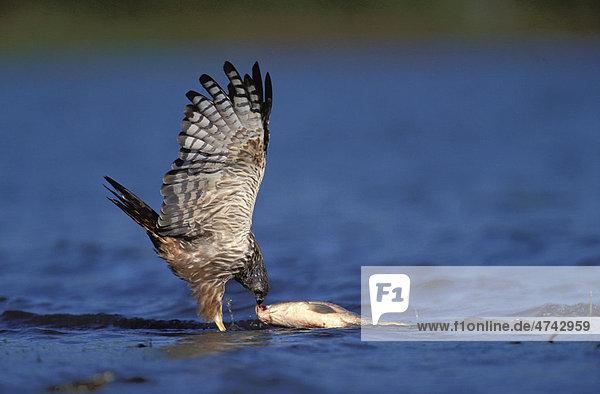 Froschweihe (Circus ranivorus)  beim Fischfang  KwaZulu-Natal  Südafrika  Afrika
