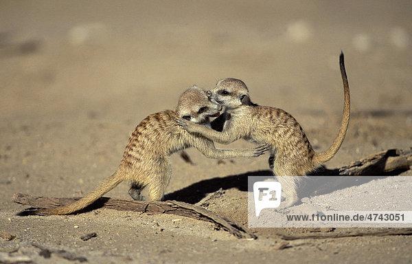 Meerkat (Suricata suricatta)  youngsters playing  Kgalagadi Transfrontier Park  Kalahari  South Africa  Africa