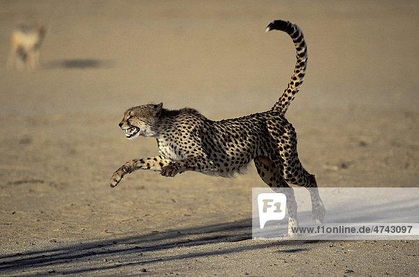 Gepard (Acinonyx jubatus)  Drohgebärde  Kgalagadi-Transfrontier-Nationalpark  Kalahari  Südafrika  Afrika