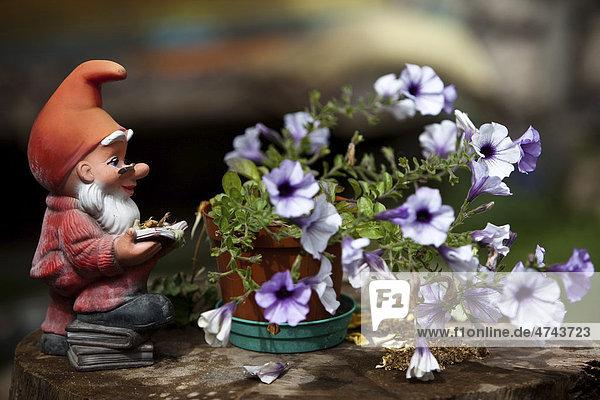Gartenzwerg mit Zipfelmütze liest ein Buch  neben Blumentopf