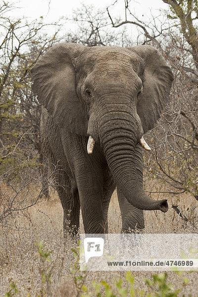 Elefant (Loxodonta africana) im Busch  Tshukudu Game Lodge  Hoedspruit  Greater Krueger Nationalpark  Limpopo Provinz  Südafrika  Afrika