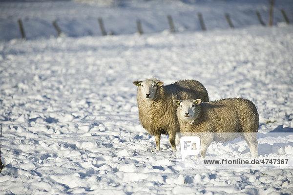 Schafe im Schnee in Amersfoort  Niederlande  Europa