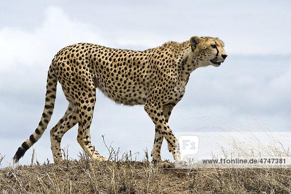 Gepardin (Acinonyx jubatus)  hält Ausschau nach Beutetieren  Simba Kopjes  Serengeti-Nationalpark  UNESCO Weltnaturerbe  Tansania  Afrika