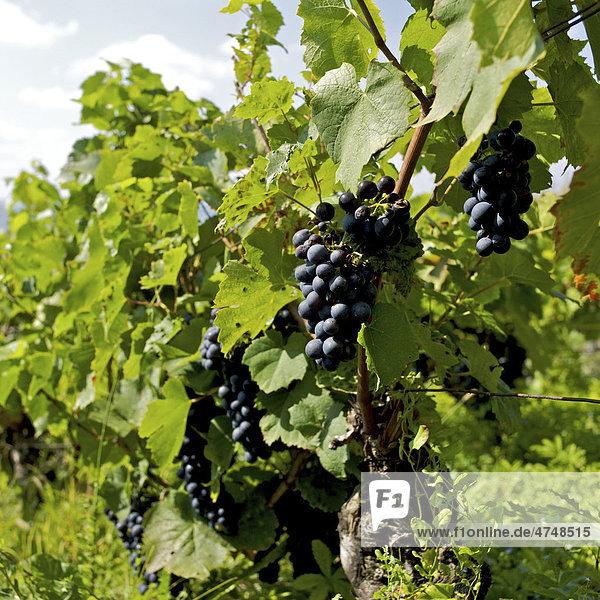 Weintrauben an Reben wachsend
