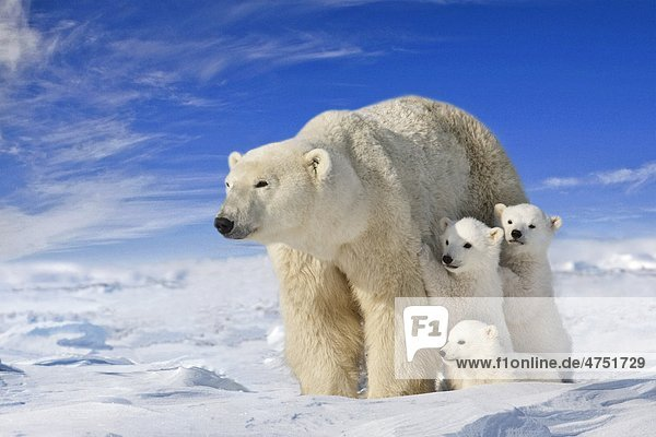 Ansicht von Eisbär Sau (Ursus maritimus) mit ihrem Jungen auf dem Triplett Wind fegte Ebenen Wapusk Nationalpark  Manitoba  Kanada  Winter  COMPOSITE