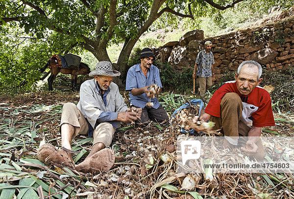 Eine Gruppe männlicher Bewohner des Dorfes Iwasoudane schneidet das Grün von biologisch angebauten Schwertlilien (Iris germanica) Rhizomen  für Naturkosmetik in Europa  Region Ait Inzel Gebel  Atlas Gebirge  Marokko  Afrika