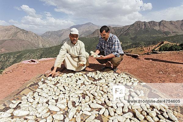 Mohammed El Malaoui überprüft die Qualität getrockneter  biologisch angebauter Schwertlilien (Iris germanica) Rhizome  die auf dem Dach des Lehmhauses von Hassan Bouship  dem Chef des Dorfes Iwasoudane  lagern  für Naturkosmetik in Europa  Region Ait Inzel Gebel  Atlas Gebirge  Marokko  Afrika