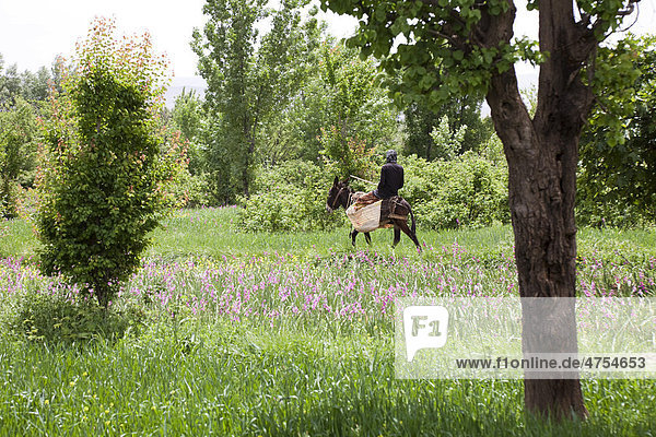 Ein Mann reitet auf einem Esel durch die Felder einer Oase im Tal der Rosen  VallÈe des Roses  Dades-Tal  Südmarokko  Marokko  Afrika