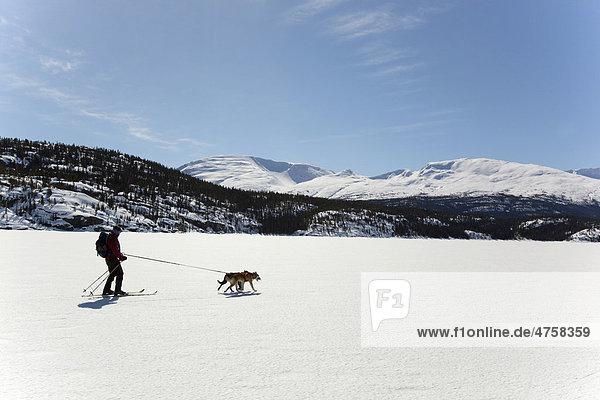 Frau beim Skijöring  Schlittenhunde ziehen Langläuferin  Hundesport  Alaskan Huskys  auf dem zugefrorenen Lake Lindeman See  Coastal Range Gebirge mit Chilkoot Pass und Chilkoot Trail hinten  Yukon Territory  British Columbia  BC  Kanada
