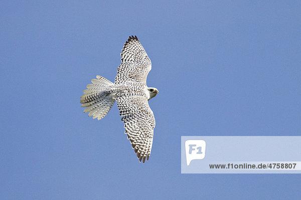 Gerfalke (Falco rusticolus) im Flug  Weibchen  Arktis Gerfalke (Falco rusticolus) im Flug, Weibchen, Arktis