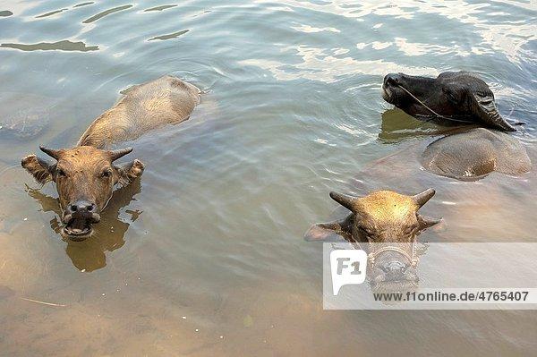 Three buffalos with their heads above water  bathing in the Li Jiang River  Yangshuo  Guangxi  China