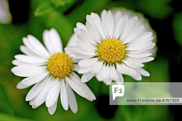 Common Daisy  Bellis perennis Flower head sprinkled with raindrops