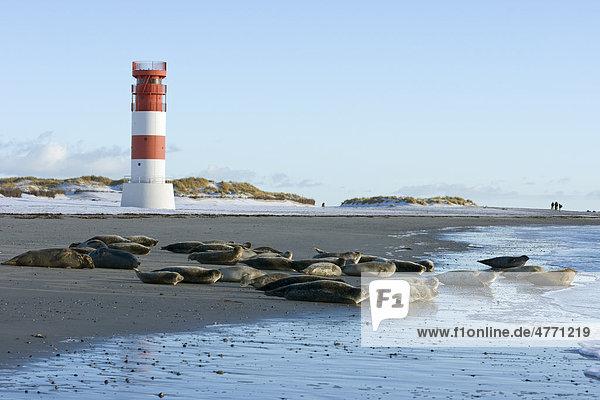 Robben am Strand  Helgoland  Schleswig-Holstein  Deutschland  Europa