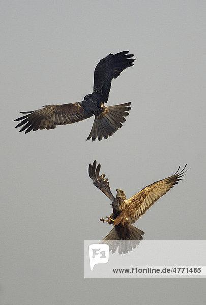 Rohrweihe (Circus aeruginosus)  zwei kämpfen  streiten in der Luft  Territorialstreitigkeiten  Norfolk  England  Großbritannien  Europa