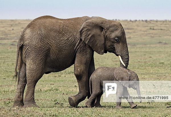 Elefant (Loxodonta africana) mit Jungtier  Masai Mara  Kenia  Afrika