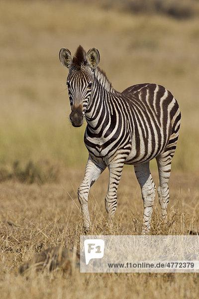 Steppenzebra (Equus quagga) im Busch  Krüger-Nationalpark  Südafrika  Afrika Equus quagga Steppenzebra