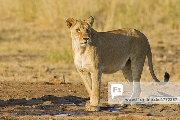 Lioness (Panthera leo) in the bush  Kruger National Park  South Africa