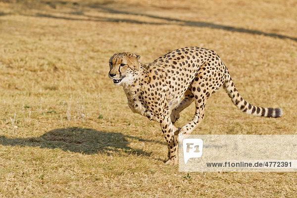Rennender Gepard (Acinonyx jubatus)  De Wildt Cheetah Sanctuary  Südafrika  Afrika