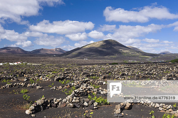 Wine-growing  dryland agriculture on lava  volcanic landscape at La Geria  Lanzarote  Canary Islands  Spain  Europe