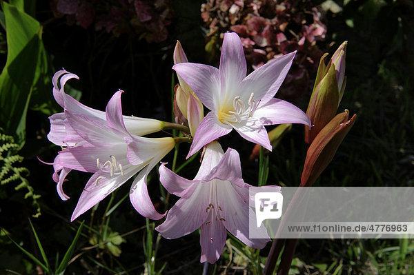 Belladonna öffnet Ihre Blume