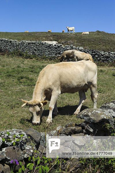 Cows near Sao Pedro on the island of Santa Maria  Azores  Portugal