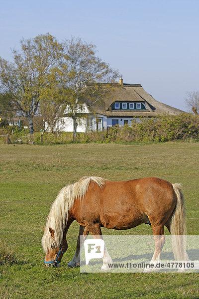 Haflinger in Neuendorf  Insel Hiddensee  Mecklenburg-Vorpommern  Deutschland  Europa