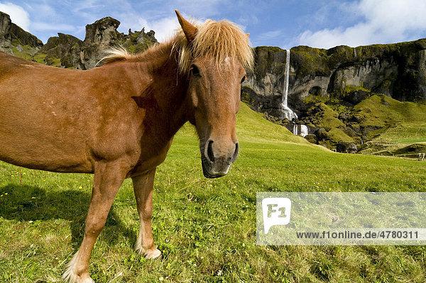 Islandpferd und Landschaft an der Südwestküste  Island  Skandinavien  Europa