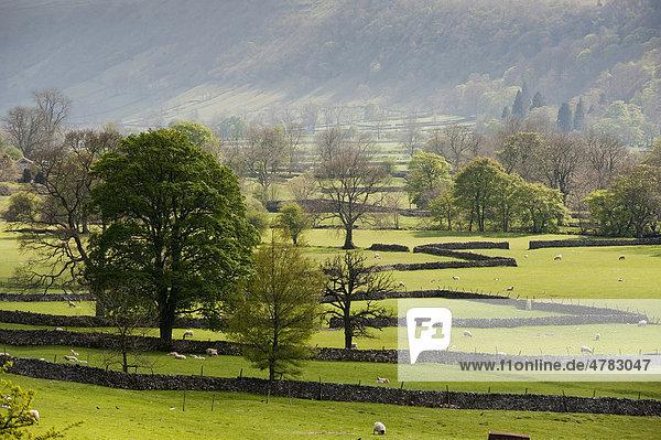 Blick auf Weiden mit Trockenmauern  Steinmauern  Bäume und grasende Schafe  Weide  Buckden  North Yorkshire  England  Großbritannien  Europa