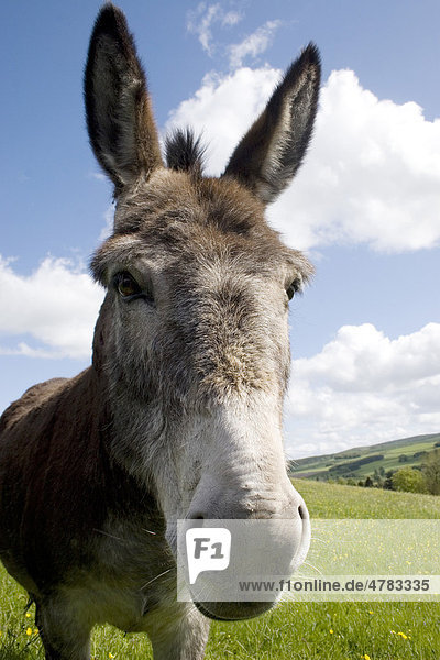 Donkey  adult  standing in pasture  Moniaive  Dumfries and Galloway  Scotland  United Kingdom  Europe