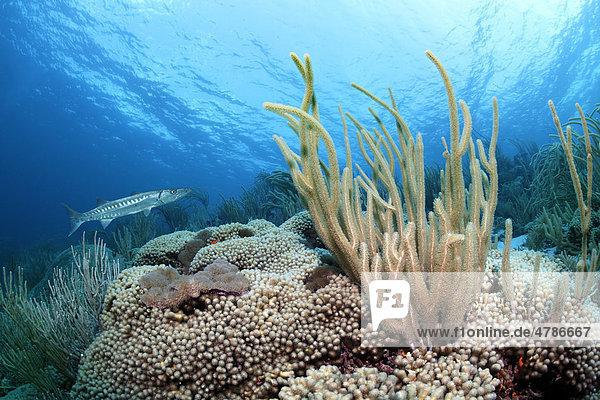 Underwater scenery  reef top with a Great Barracuda (Sphyraena barracuda)  Giant Slit-pore Sea Rod (Plexaurella nutans) and many different corals  Saint Lucia  Windward Islands  Lesser Antilles  Caribbean Sea