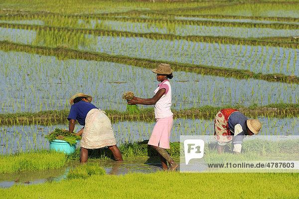 Madagassische Frauen bei der Reisernte in der Nähe von Morondava  Madagaskar  Afrika
