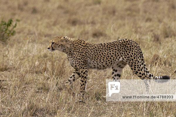 Gepard (Acinonyx jubatus)  Masai Mara  Kenia  Afrika