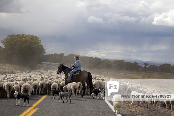A shepherd and his dogs move a flock of sheep and a few goats along a highway to a winter pasture in Colorado's San Luis Valley  Manassa  Colorado  USA  America
