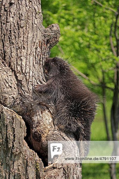 North American Porcupine (Erethizon dorsatum)  young  climbing on tree trunk  Minnesota  USA  America