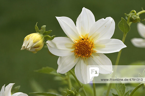 Garten-Dahlie (Dahlia variabilis)  Blüte
