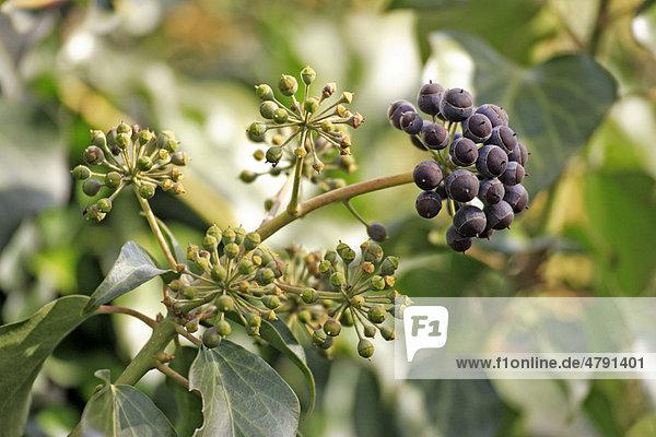 Efeu (Hedera helix)  Blüten und Früchte  Deutschland  Europa