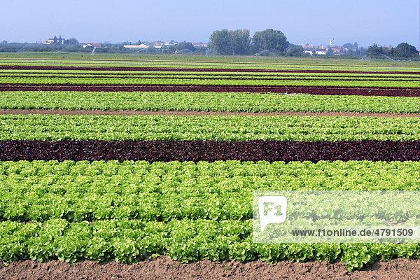 Salat (Lactuca sativa var. capitata)  Lollo Rosso Anbau  Deutschland  Europa