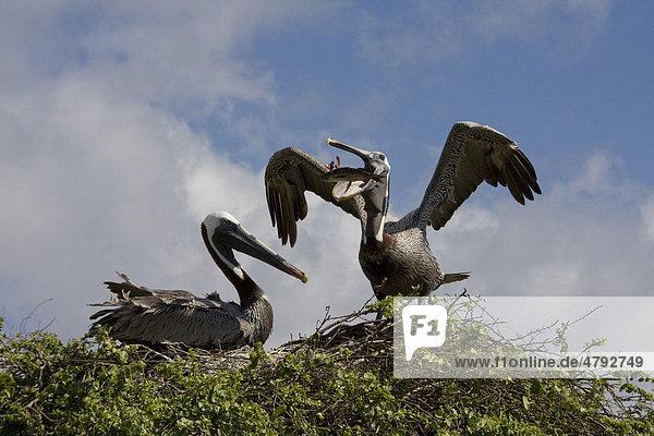 Braunpelikan oder Brauner Pelikan (Pelecanus occidentalis)  zwei Vögel am Nest  ein Vogel beim Hervorwürgen eines Fisches
