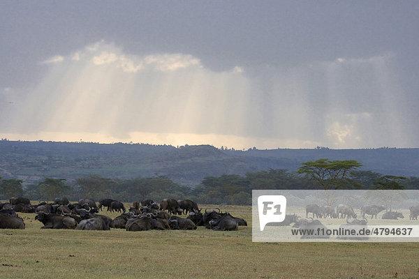 Afrikanischer Büffel oder Kaffernbüffel (Syncerus caffer)  liegend in Savanne nach Regenfall  Lake Nakuru-Nationalpark  Kenia  Afrika