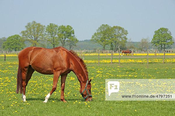 Pferde auf einer Weide in Luhmühlen in Niedersachsen  Deutschland  Europa