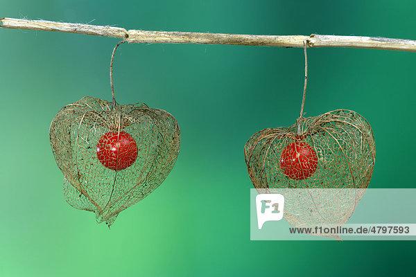 Lampionpflanze (Physalis franchetii)  Blüten und Früchte Lampionpflanze (Physalis franchetii), Blüten und Früchte