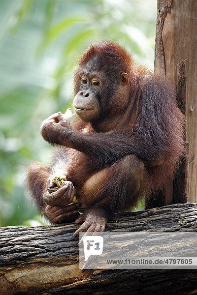 Bornean Orangutan (Pongo pygmaeus)  juvenile eating in a tree  Asia