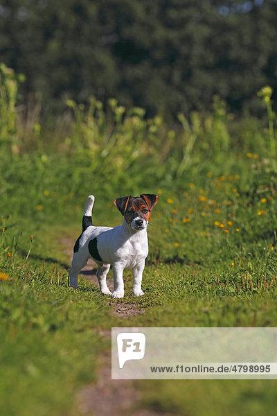 Junger Jack Russell Terrier  Welpe  12 Wochen  Rüde