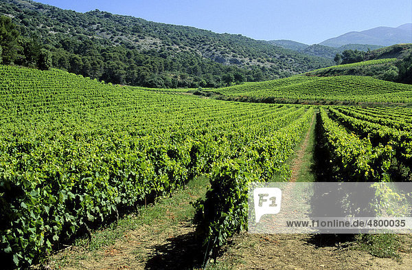 Weinberg  Cotes du Rhone  Drome  Frankreich  Europa