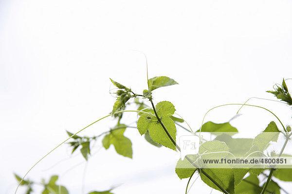 Wild wachsende Passionsfrucht-Pflanze (Passiflora)